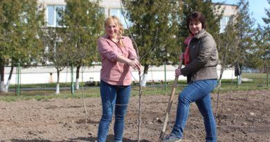 На территории средней школы г.п. Мир заложен яблоневый сад из 75 саженцев