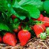 Чем подкормить клубнику во время цветения? Простые и эффективные способы